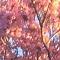 Pink trumpet tree tabebuia heterophylla