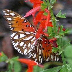 Florida butterfly plants butterfly garden plants orlando for Butterfly garden orlando
