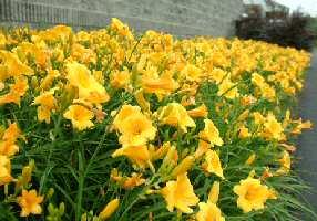 Perennials in florida florida perennial flowers orlando central daylily200ag mightylinksfo