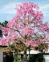 Landart landscape architecture have tested this tropical tree in central florida for cold hardiness with good results while the spectacular show of pink flowers is enough to warrant mightylinksfo
